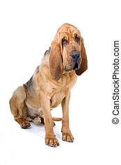 bloodhound ,also known as St. Hubert hound and Sleuth Hound sitting, isolated on a white background