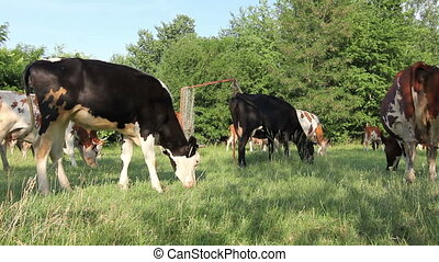 Bloodstock cows are grazing grass, on a pastures, meadow -...