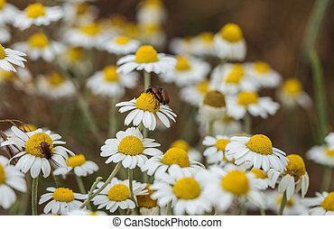 Bloom. Chamomile. Blooming chamomile field, chamomile flowers on meadow in summer, selective focus, blur. Beautiful nature scene with blooming medical daisies on sun day. Beautiful meadow background