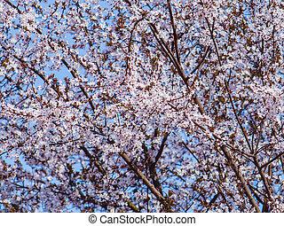 bloom-, entiers, arbre, minuscule, doux, baldaquin, fleurs, blanc