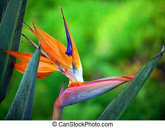 Bloom of Bird of Paradise on Kauai