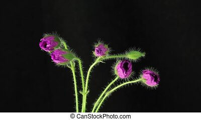 Bloom purple flowers - Isolated flowers blooming timelapse...
