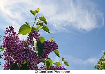 Bloom purple lilac tree leaf on background of sky