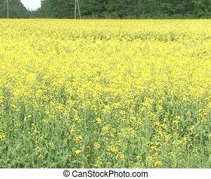 bloom yellow rape seed