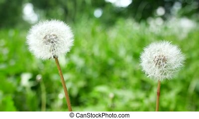 Bloomed dandelion in nature grows from green grass. Old...