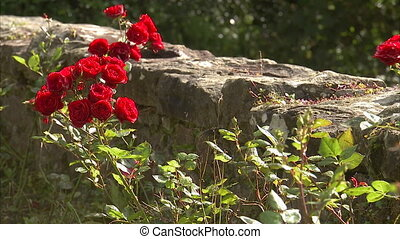 Bloomed red roses in a backyard - A steady full shot of...