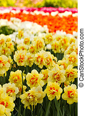 blooming, весна, двойной, daffodils, желтый