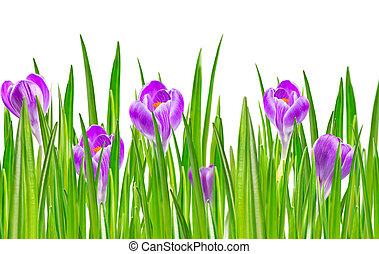 blooming, весна, крокус, цветок