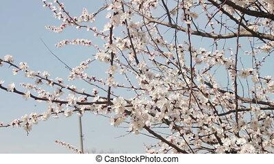 blooming, весна, цветок, абрикос