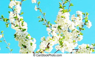 blooming, весна, цветы, абрикос