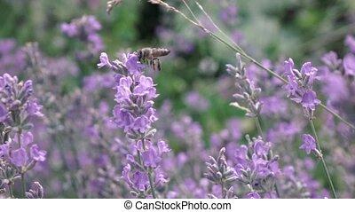 blooming, выше, летающий, пчела, flowers., за работой, мед, ...