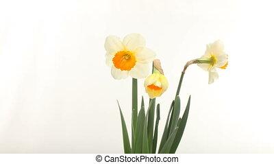 blooming, круг, желтый, daffodills, время