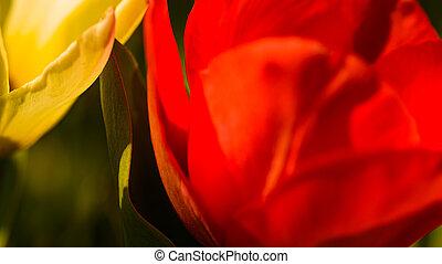 blooming, цветок, крупный план, красный
