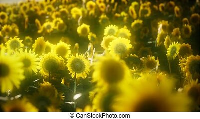 blooming, 8k, поздно, sunflowers, лето