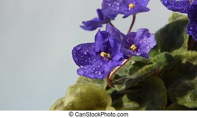blooming african violet flower, watering and treat house ...