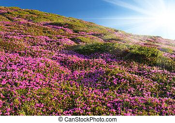 blooming, alperosen, bjerge