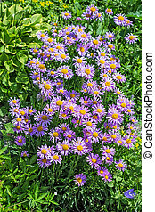 Blooming Alpine Aster (Aster alpinus)