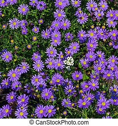 Blooming Alpine asters - Aster Alpinus flower in the garden