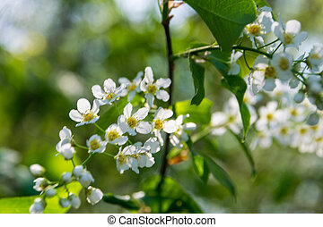 Blooming Alyssum on a sunny day