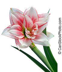 blooming, amaryllis