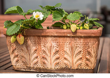 Blooming and green strawberries potted in vintage terracotta planter