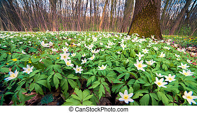 Blooming anemone flowers in the spring forest.