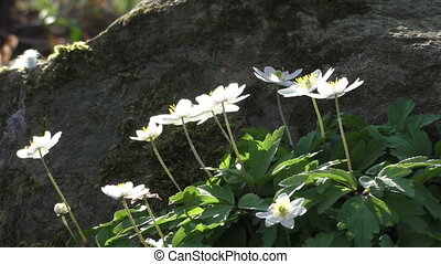 Blooming Anemone nemorosa on forest ground