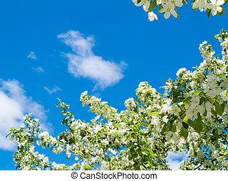 blooming apple against blue sky