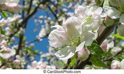 Blooming apple tree 2