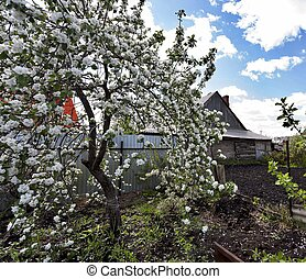 blooming Apple tree against blue cloudy sky