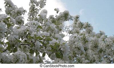 Blooming apple tree against the blue sky