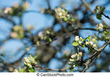 Blooming apple tree against the blue sky