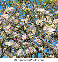 Blooming apple tree against the blue sky.