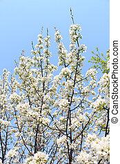 Blooming apple tree against the sky