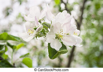 Blooming apple tree; beautiful white blossoms against blue sky