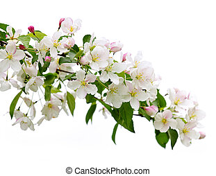 Blooming apple tree branch