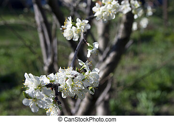 Blooming apple tree branch on a background of the rural landscape.