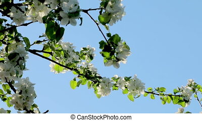 Blooming apple tree branches