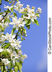 Blooming apple tree branches in spring orchard