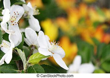 Blooming apple-tree flowers overs yellow-orange background