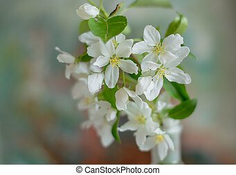 Blooming apple tree in spring time. White flowers