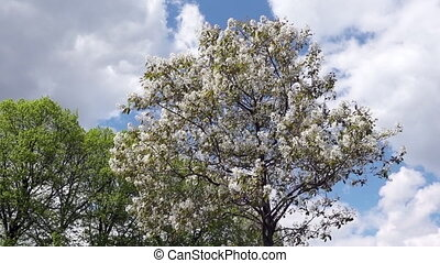 Blooming apple tree on a background of blue sky with clouds