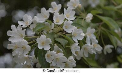 Blooming apple tree twig