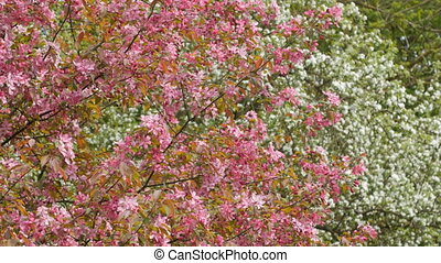Blooming apple tree with pink blossoms. Forest on background