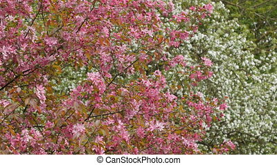 Blooming apple tree with pink blossoms. Slider shot.
