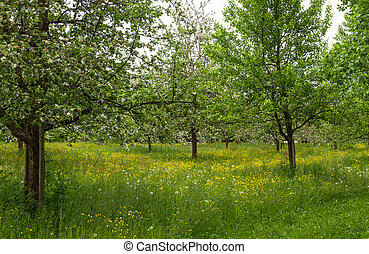 Blooming apple trees in spring with yellow flowers
