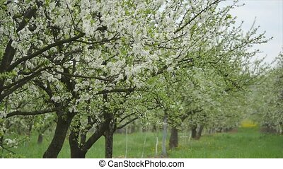 blooming apple trees in the garden