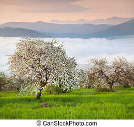 Blooming apple trees in the mountains at spring