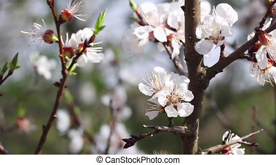 Blooming apricot fruit tree branch with flowers
