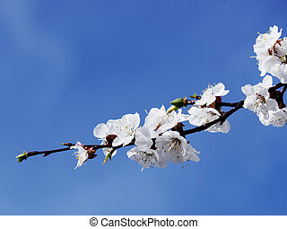 blooming apricot-tree against blue sky